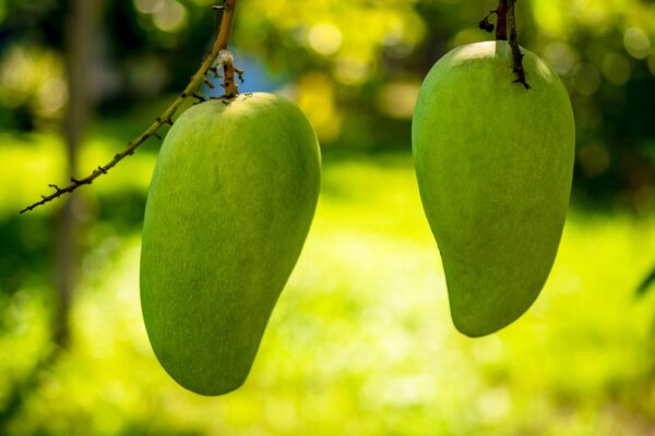 mango, mango tree, fruits-344502.jpg