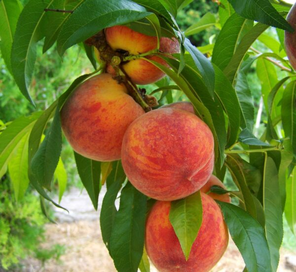 peach, fruit, mature-846962.jpg